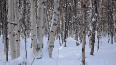Snowy birch tree forest moving right Stock Footage