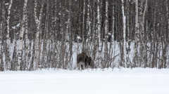 calf moose - stock footage
