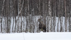 feeding moose mother in winter - stock footage