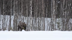 feeding female moose in winter - stock footage