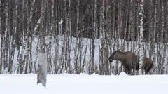 female moose feeding in winter forest - stock footage