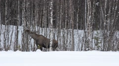 feeding moose in winter forest - stock footage