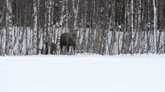 guarding moose mother and feeding calf - stock footage