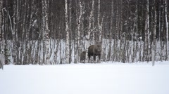 moose mother with calf - stock footage