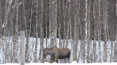 Moose mother feeding and walking Stock Footage