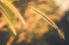 Dwarf Foxtail Grass vintage Stock Photos