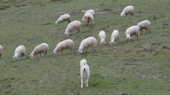 Maremma Sheepdog guarding herd of sheep, Maremma, Tuscany, Italy, EU, Europe. Stock Footage