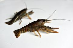 two Crayfish isolated on a white background. - stock photo