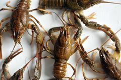 Crayfish isolated on a white background. - stock photo