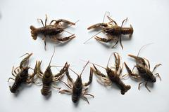 Two crayfish conflict alongside other - stock photo
