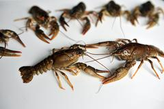 Two crayfish conflict alongside other Stock Photos