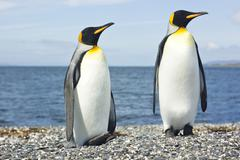 two king pinguins near sea - stock photo