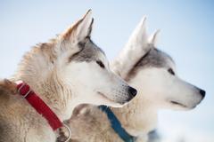 Huskies - stock photo