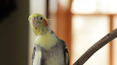 Cockatiel whistling - stock footage