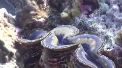 Giant clam spawning on coral reef, Tridacna squamosa - stock footage