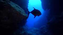 Silhouetted trevally swimming in coral crevasse. Stock Footage
