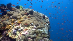 Hard and soft coral shallow reef full of colourful anthias Stock Footage