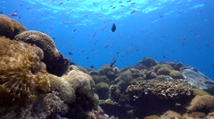 Hard and soft coral reef full of tropical fishes, shot with tripod Stock Footage