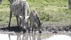 ZEBRA MOTHER AND COLT DRINK Stock Footage