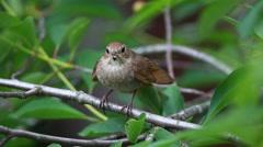 Male Thrush Nightingale (Luscinia luscinia) with wood Stock Footage