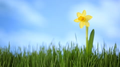 Daffodil flower in grass with moving clouds Stock Footage