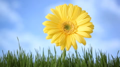 Gerber daisy in grass with clouds moving over Stock Footage