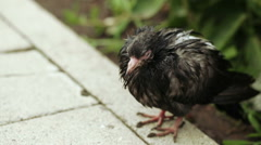 Wet pigeon on asphalt Stock Footage