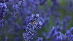 Honey bee on lavender flower, slow motion Stock Footage