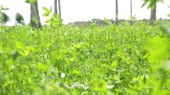 Field in a village of Sindh, Pakistan Stock Footage