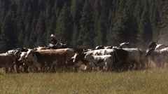 Cowboy on horse herding cattle, slow motion - stock footage