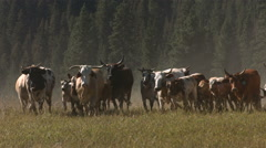 Cattle stampede, slow motion - stock footage