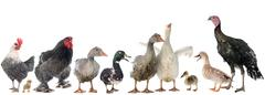 group of poultry - stock photo