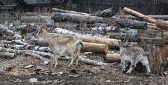 Goat with goatling - stock photo