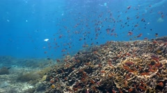 Hard and soft coral reef full of tropical fishes with a lot of plastic drifting - stock footage