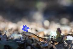First anemone hepatica of the season on sunny day Stock Photos