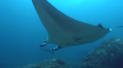 Manta ray (Manta blevirostris) swimming over coral reef Stock Footage