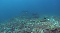 Manta ray (Manta blevirostris) swimming over coral reef - stock footage