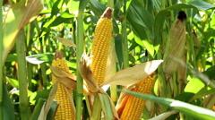 Spadices of sweet corn Stock Footage