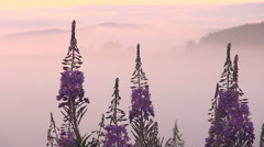 Fireweed Flowers on a Background of Fog. Pink Sky Before Dawn. - stock footage