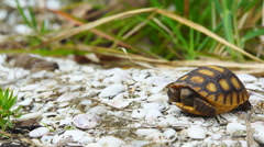 Gopher Tortoise Endangered species - stock footage