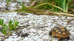 Gopher Tortoise Crawling Stock Footage