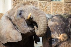 African elephant drinks water with a indian elephant Stock Photos