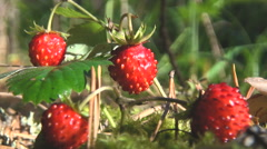 Berries of Wild Strawberry. Macro, Sunny Day. Stock Footage