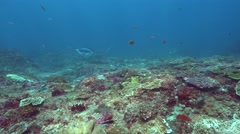 Manta ray (Manta blevirostris) swimming over coral reef Stock Footage