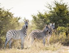 Zebra in Botswana, Africa with black and white stripes - stock photo