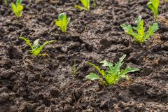 Baby Fresh salad leave Chicory in the Organic farm with soft focus - stock photo
