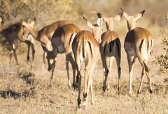 Impala out on the plains in Botswana, Africa Stock Photos