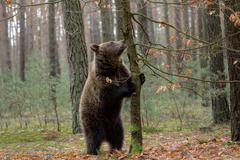 brown bear (Ursus arctos) in winter forest - stock photo