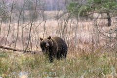 brown bear (Ursus arctos) in winter forest - stock photo