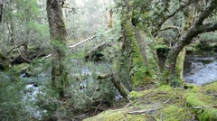 Tasmanian Enchanted forest Stock Footage